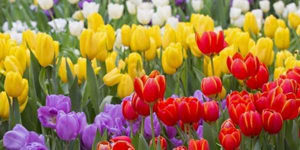 Tulip - quốc hoa Hà Lan