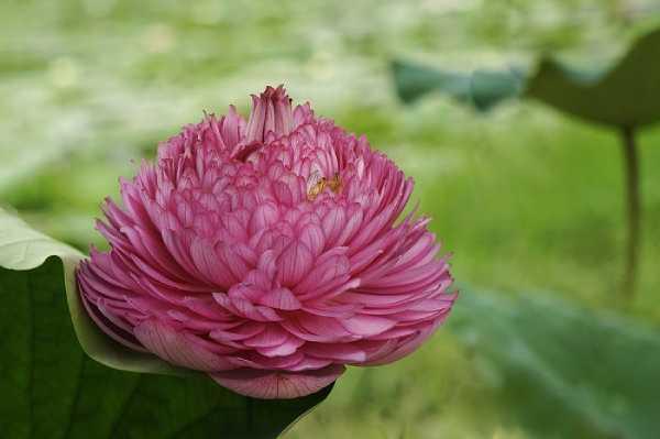 giống hoa sen lạ ở Việt Nam