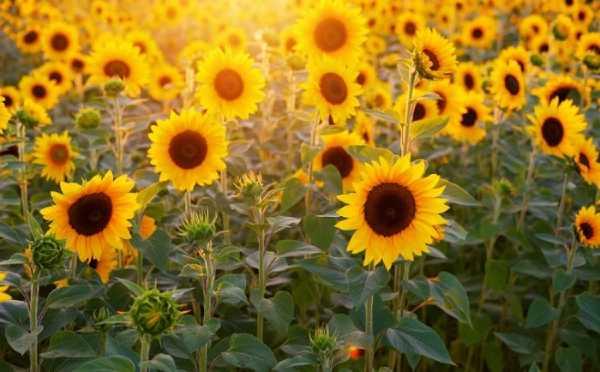 hoa hướng dương - quốc hoa nước Nga